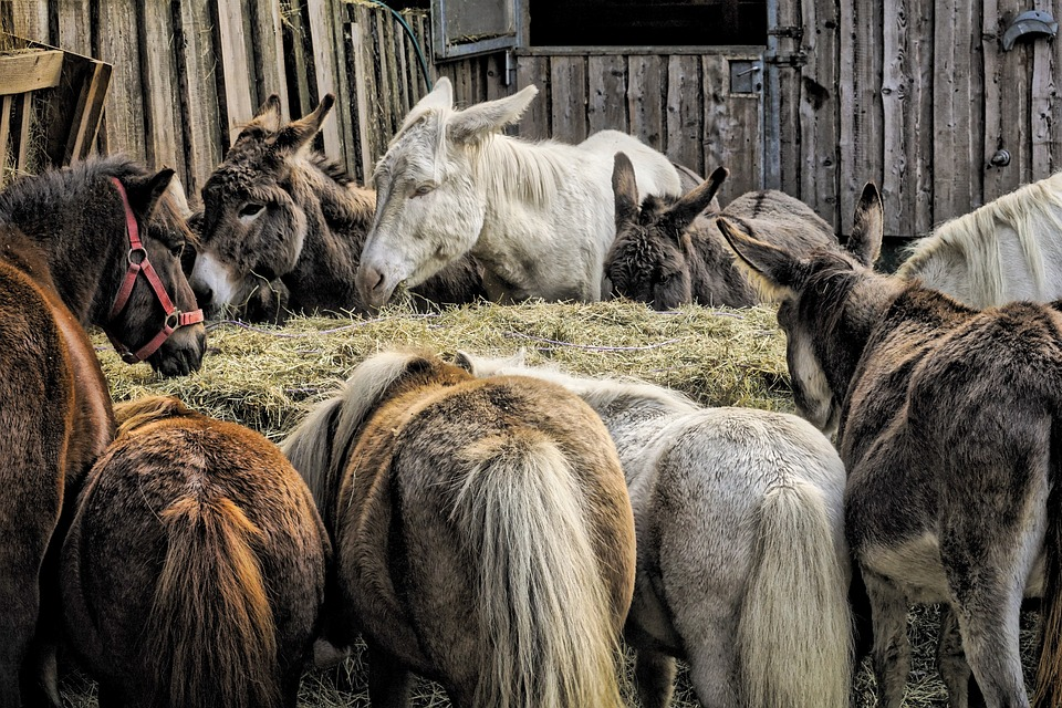 Donkeys sick with the flu